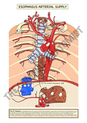 A5 Color Esophagus Arterial Supply with a White Background