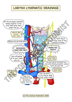 A5 Color Larynx Lymphatic Drainage with a White Background