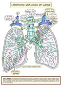 A5 Color Lung Lymphatic Drainage with a White Background
