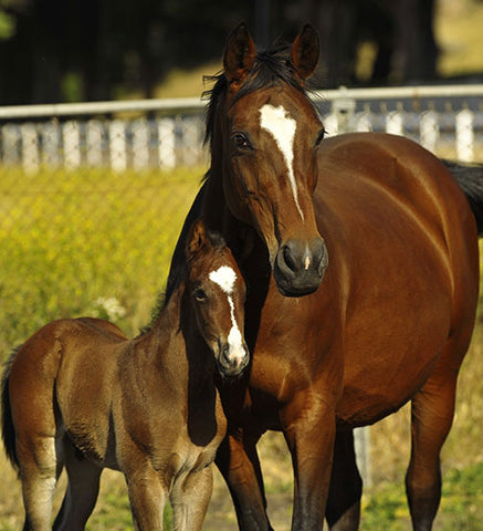 Holsteiner Horse and Foal