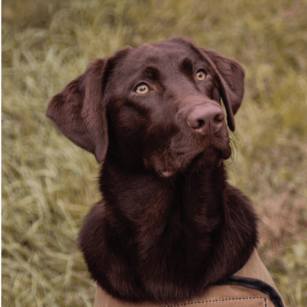 Duluth Pack Dog: Voted America's Favorite Dog - The Labrador Retriever | Duluth Pack