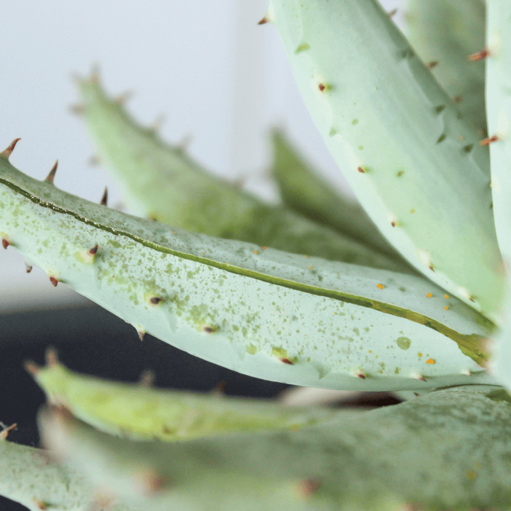 The Natural Benefits of Aloe Plants | Duluth Pack