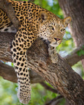Watching Leopard