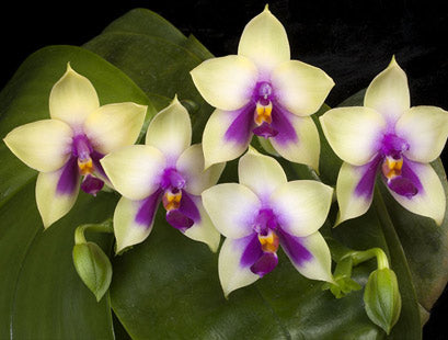 Tips For Growing Phalaenopsis Orchids