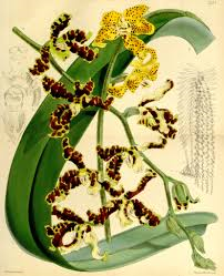 Dimorphorchis lowii