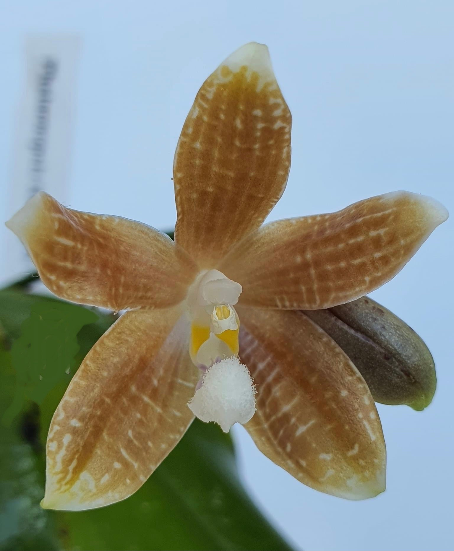 Phalaenopsis speciosa 'Coffee' (fragrant)