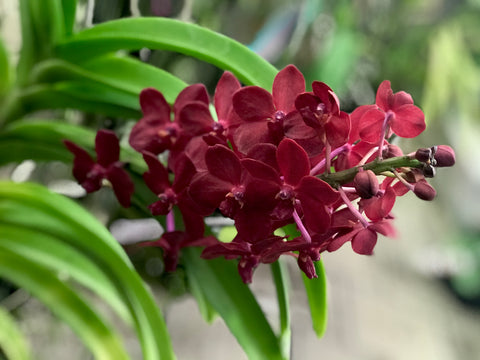 Vanda Roll All Red