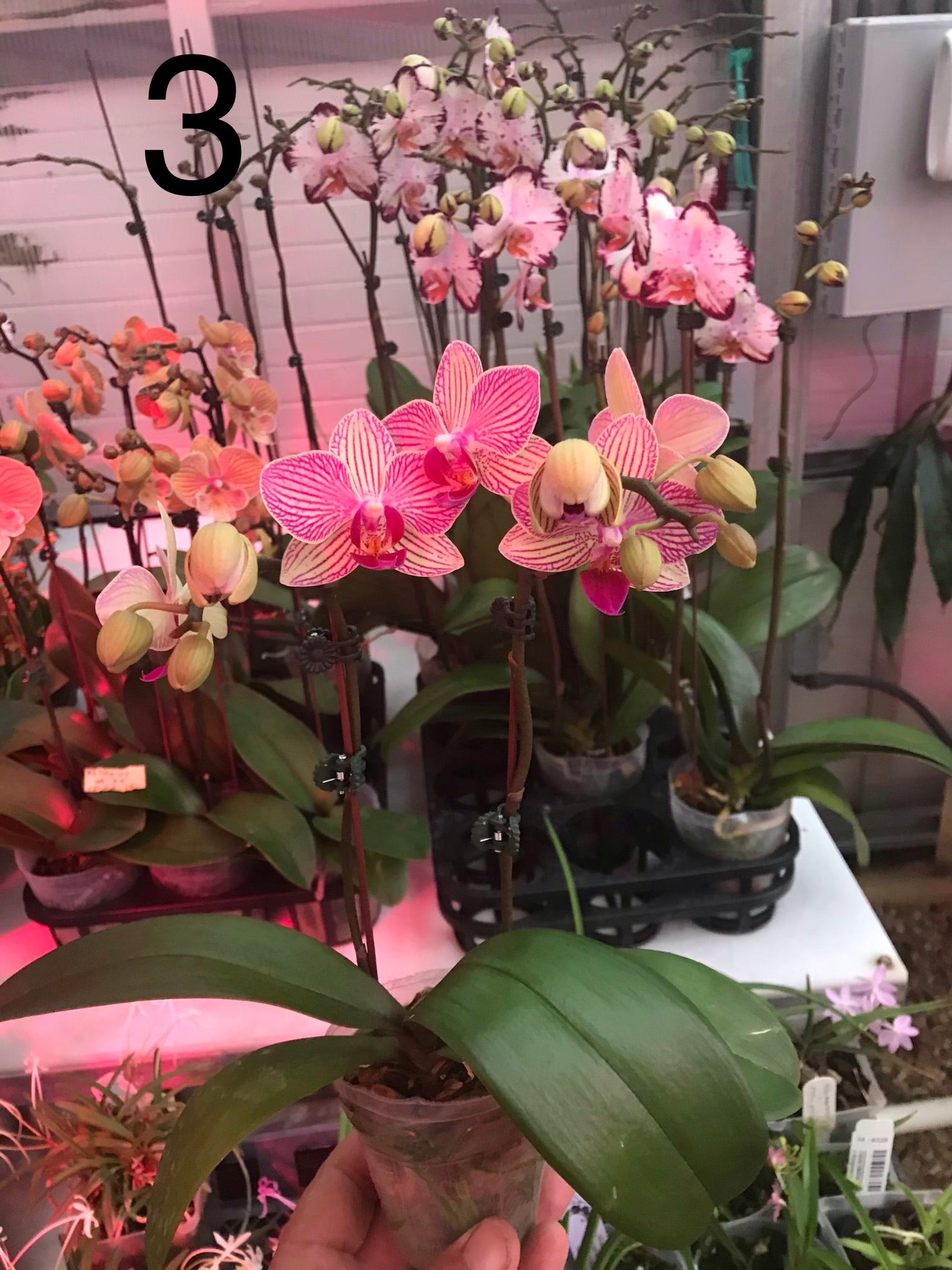Miniature Phalaenopsis collection.