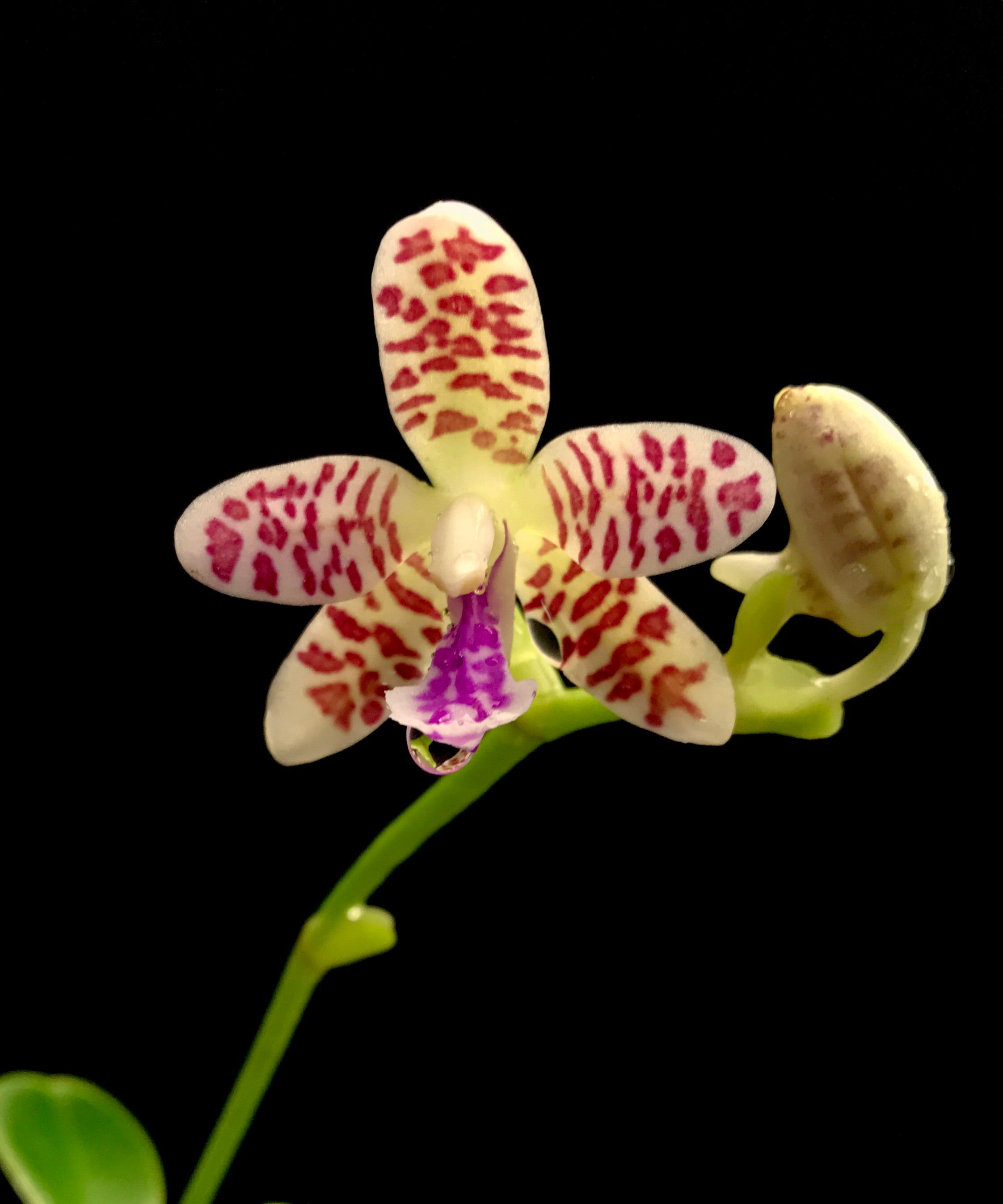 (Sedirea) Phalaenopsis Japonica x Vandoperia Little One