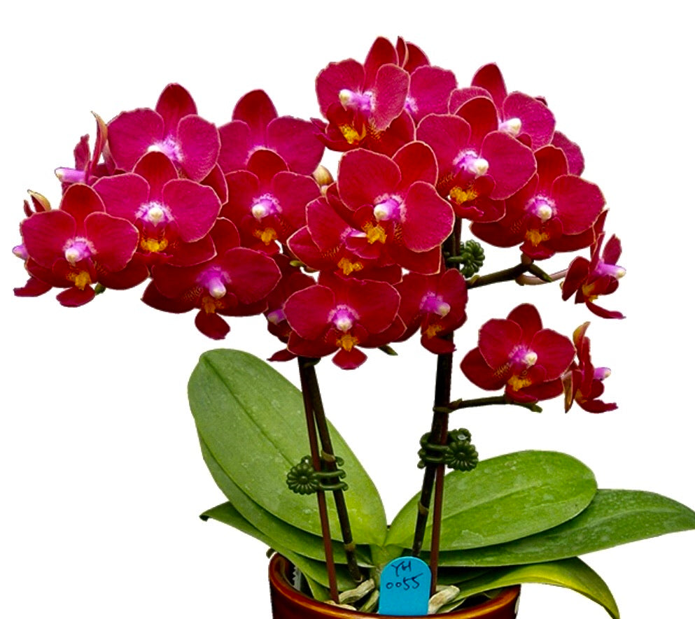 "Phalaenopsis Younghome ""Little Vermillion"""