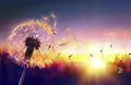 Sunset Dandelion Mural Peel and Stick Wallpaper