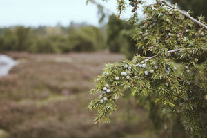 Juniper Berry tree with field in the background