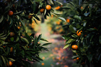 Orange Trees welcome image for Pomona Pure news blog post