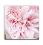 Canvas Wrap - Pink Flower