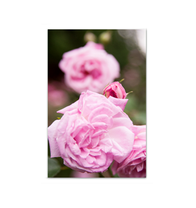 Canvas Wrap - Pink Roses
