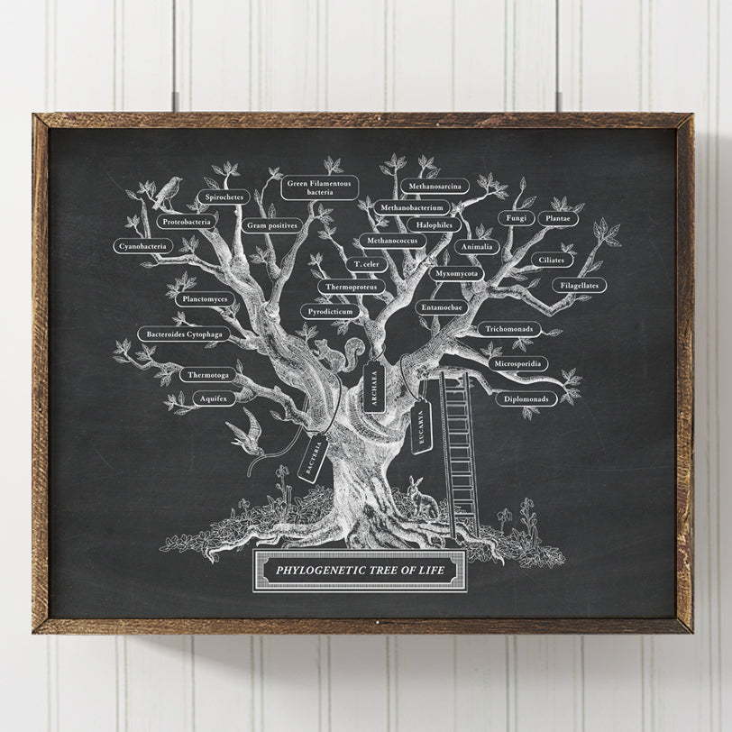 Microbiology Phylogenetic Tree Of Life Print (Black Chalkboard)