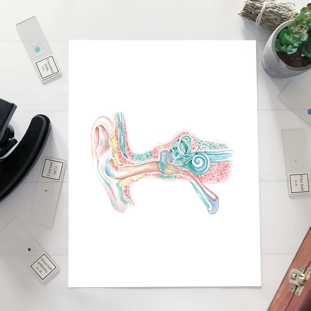 Ear structure, Inner, Middle, Outer Ear Watercolor Art Print