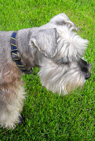 dog in nice collar looking down