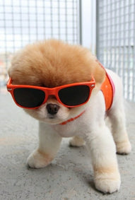 cute dog in sunglasses and harness
