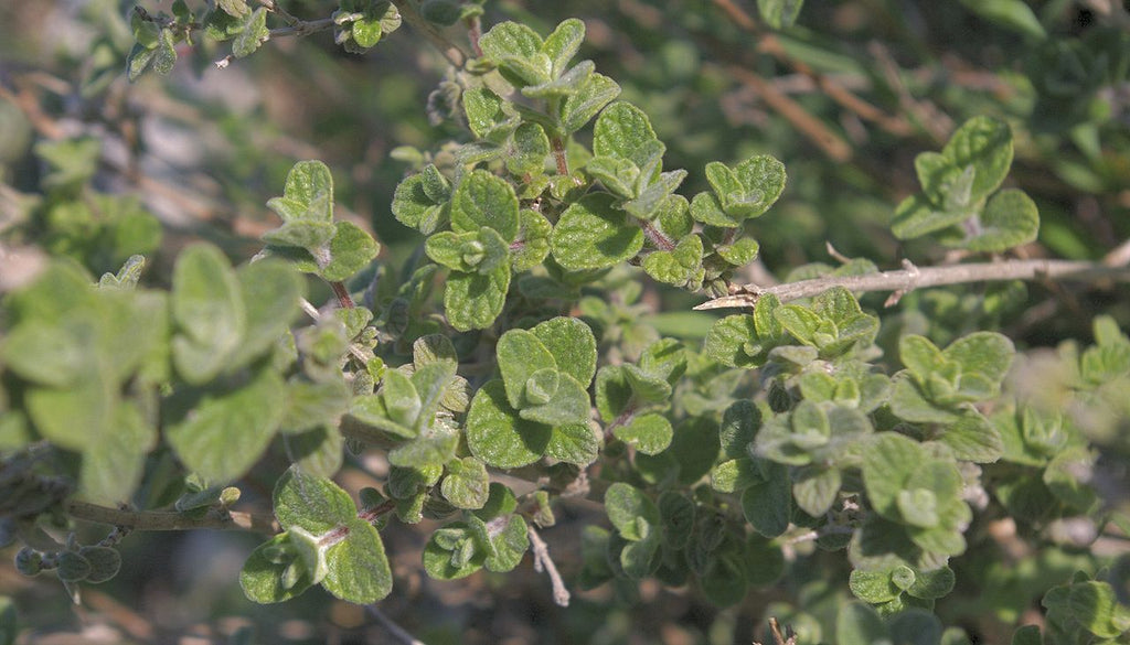 OREGANO OIL BENEFITS