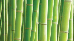 Why Bamboo Might Be Worth the Climb for Florida Farmers