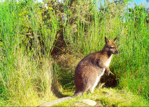 A Bennett wallaby
