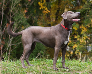 State Dog of Texas - Blue Lacy Dog