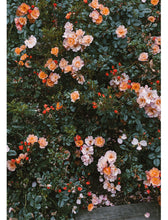 Load image into Gallery viewer, Fine Little Day Rose Poster