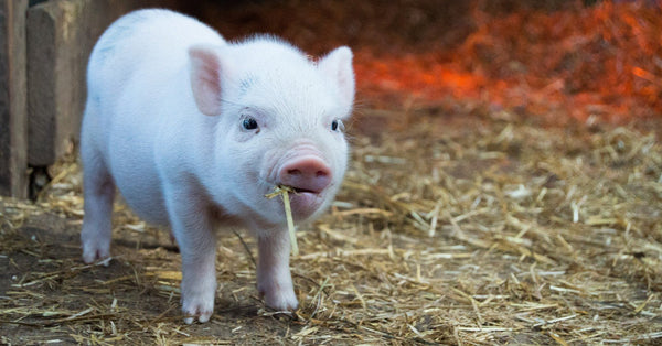 Reasons To Love Pigs (Besides Cute Pig-Themed Gifts!)