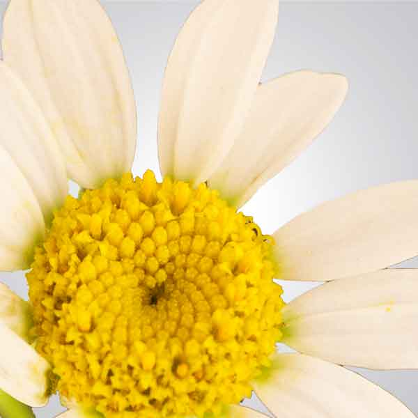 Photo of Chamomile Flower