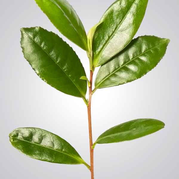 Photo of Green Tea leaves