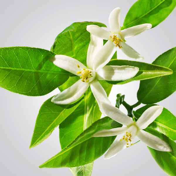 Photo of Neroli flower