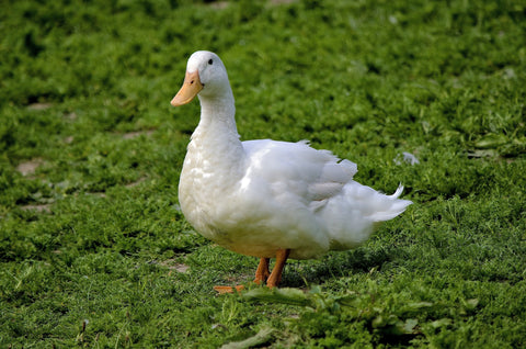 Free range ducks available from Pheasants Hill Farm - free delivery to Ireland, England, Scotland, UK.