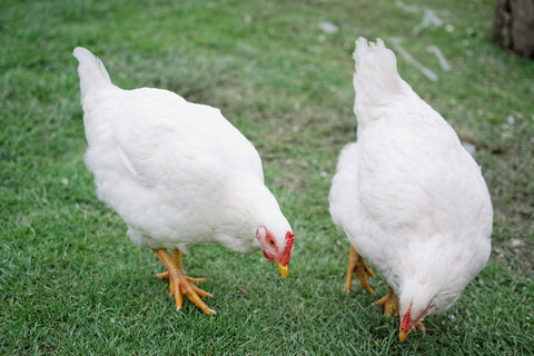 Pheasants Hill Farm sells free range chickens free delivery to Ireland, England, Scotland, UK.