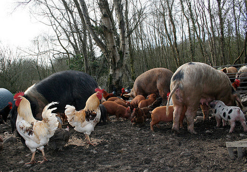 Pheasants Hill Farm's free range Tamworth pigs and Gloucestershire Old Spots pigs in County Down, Northern Ireland.