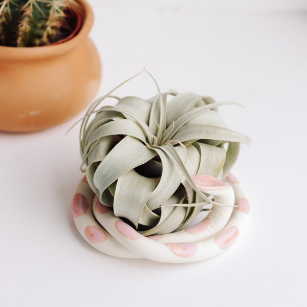 Air Plant Snakes - Xerographica