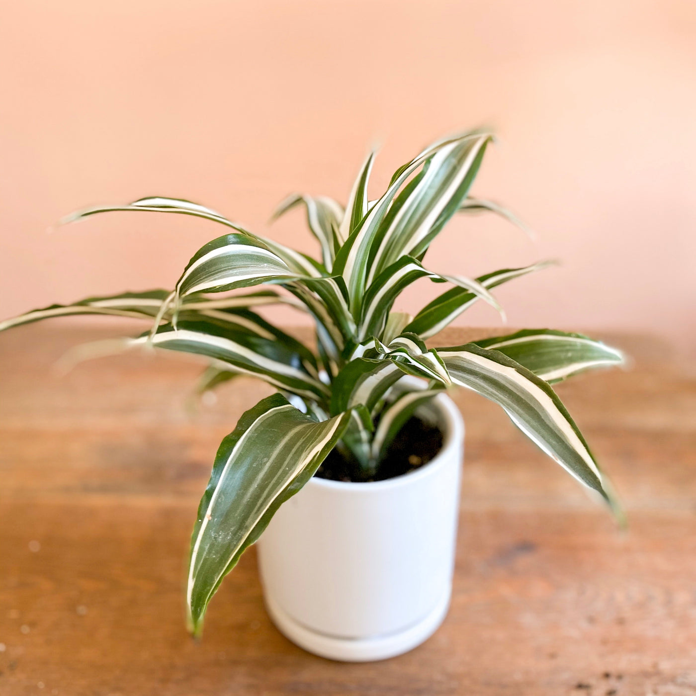 Dracaena White Bird