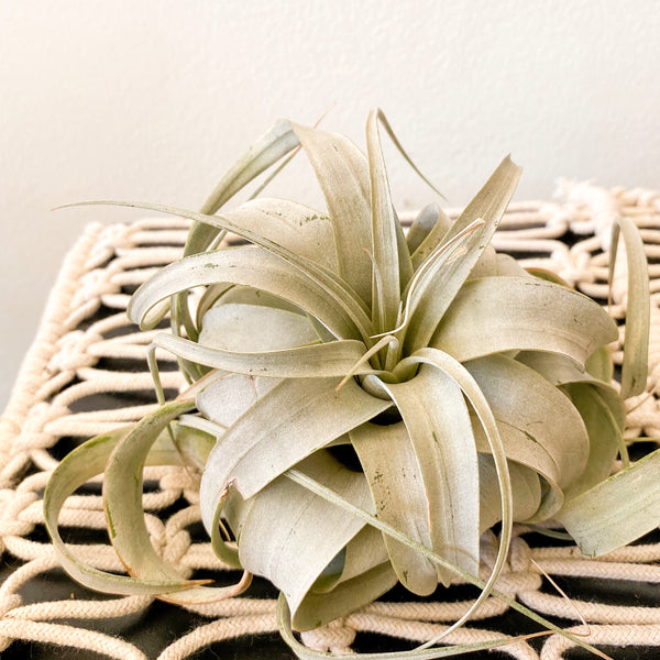 Air plant: Tillandsia Xerographica