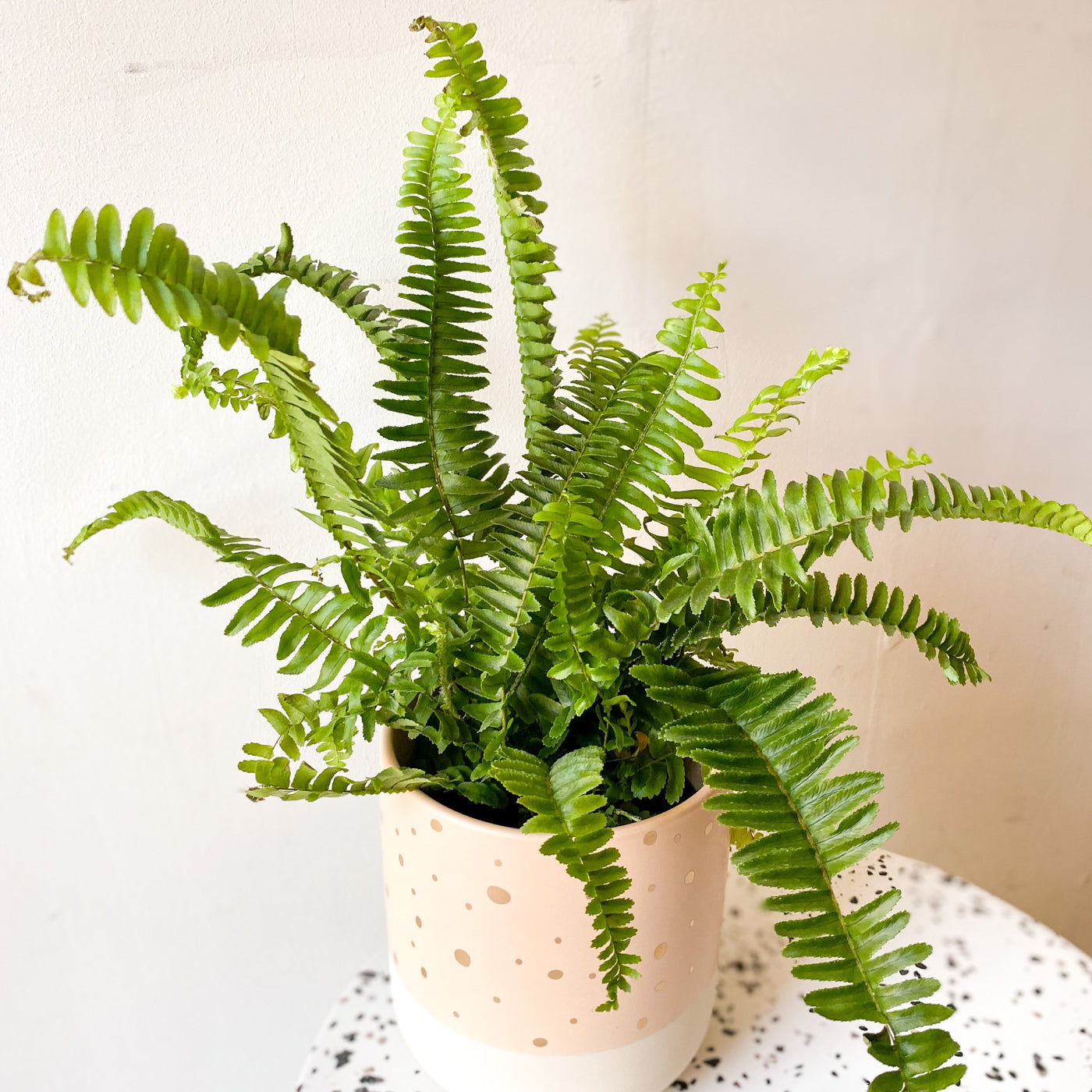 Jester Crown Fern