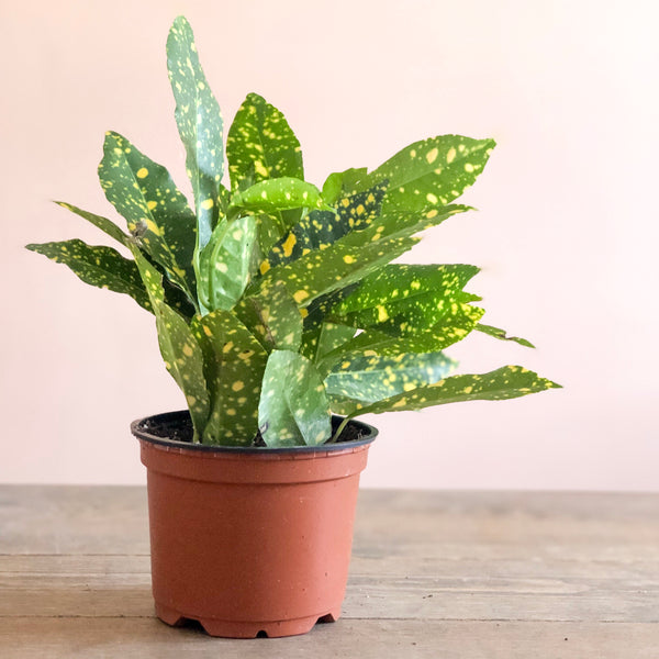 Speckled Croton, 4""