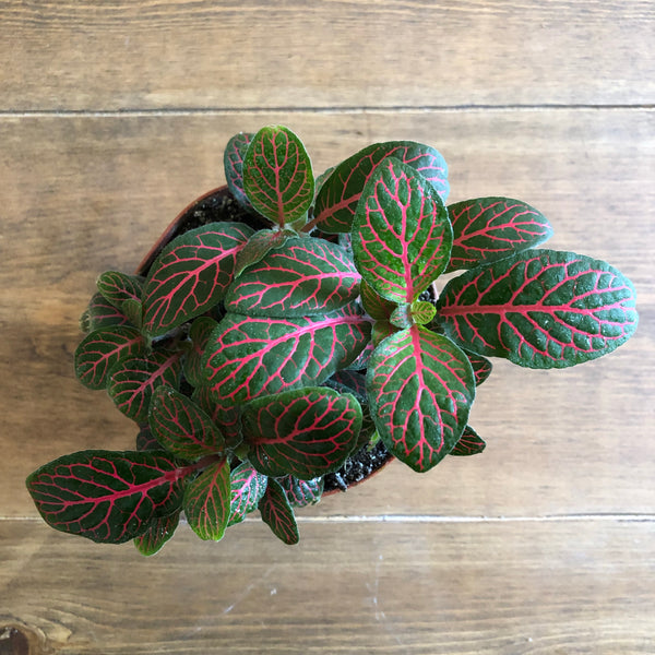 Fittonia in Red, 4""