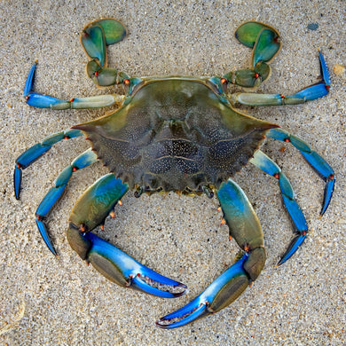 Blue Crab Teaser