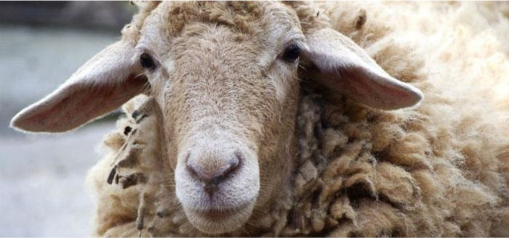the face of a large brown sheep looking at the camera close up