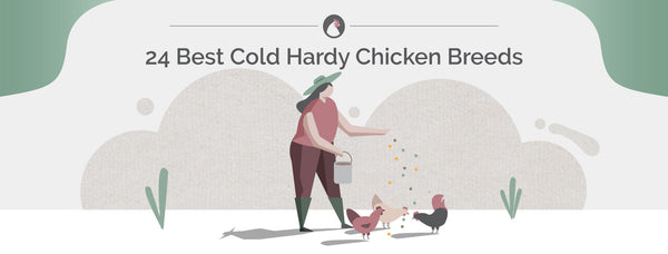 24 Best Cold Hardy Chicken Breeds