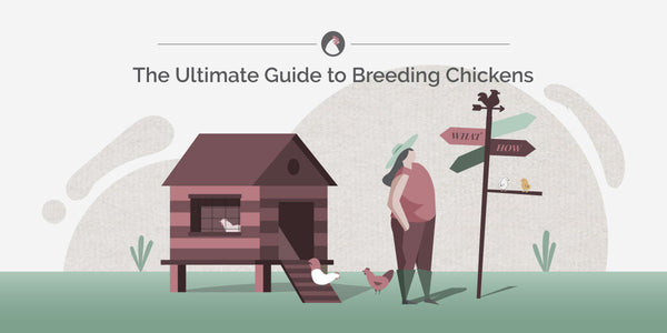 How to Breed Chickens | Ultimate Guide