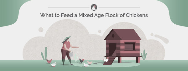 What to Feed a Mixed Age Flock of Chickens