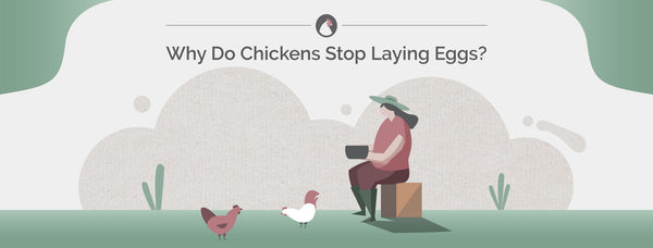 Why Do Chickens Stop Laying Eggs?
