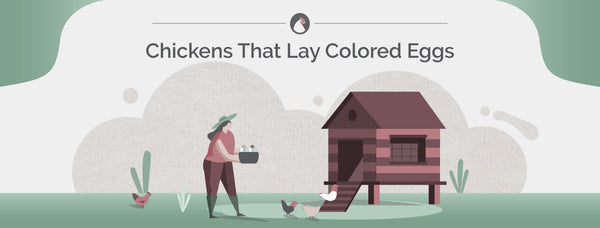 Chickens That Lay Colored Eggs