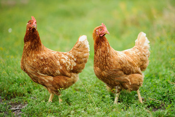 growing chickens walking in the grass