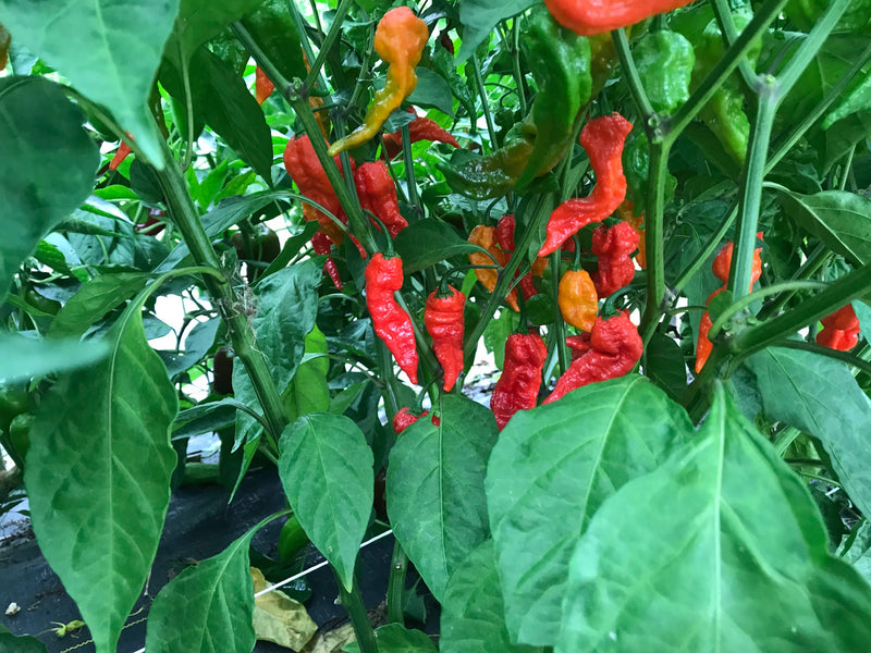 What Color are Ghost Peppers When Ripe